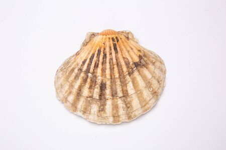 Pectinidae Scallop shell on a white background. Close-up.