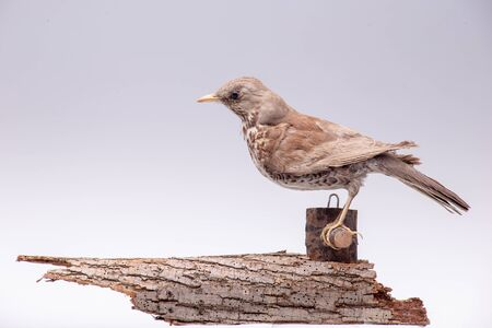 Thrush is sitting on a branch. Scarecrow on a white background Stockfoto