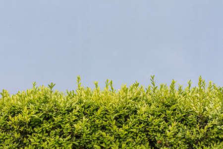 Evergreen box bush (Common Box, European Box, Buxus Sempervirens). Close-up of evergreen bush with colored background.