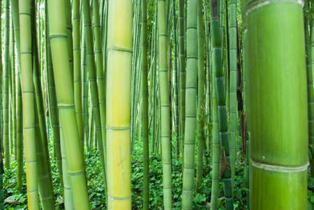 impenetrable: impenetrable bamboo forest