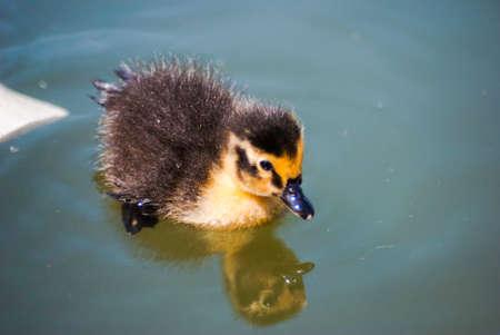 duckling: lone duckling