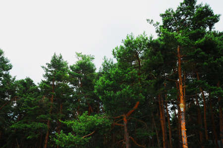 photo of trees, tropical and subtropical coniferous forests Zdjęcie Seryjne