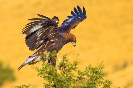 Golden Eagle, Aquila chrysaetos, Castile Leon, Spain, Europe
