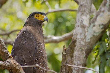 Crested Serpent Eagle, Spilornis, Wilpattu National Park, Sri Lanka, Asia
