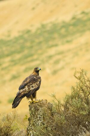 Golden Eagle, Aquila chrysaetos, Castile Leon, Spain, Europe