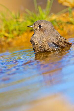 Female Black Redstart, Phoenicurus ochruros, Forest Pond, Castile Leon, Spain, Europe Archivio Fotografico