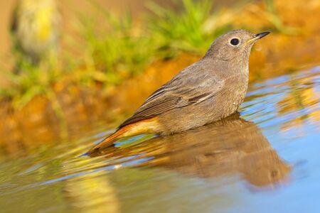 Female Black Redstart, Phoenicurus ochruros, Colirrojo Tizón, Forest Pond, Castile Leon, Spain, Europe Archivio Fotografico