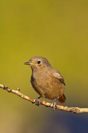 Female Black Redstart, Phoenicurus ochruros, Colirrojo Tizon, Castile Leon, Spain, Europe Archivio Fotografico