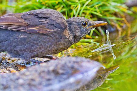 Blackbird, Turdus merula, Mirlo Comun, Forest Pond, Castile Leon, Spain, Europe Archivio Fotografico
