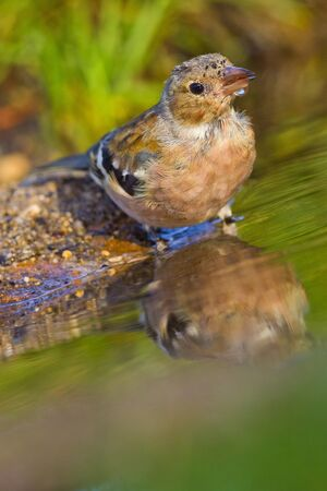 Chaffinch, Fringilla coelebs, Pinzon Vulgar, Forest Pond, Castile Leon, Spain, Europe