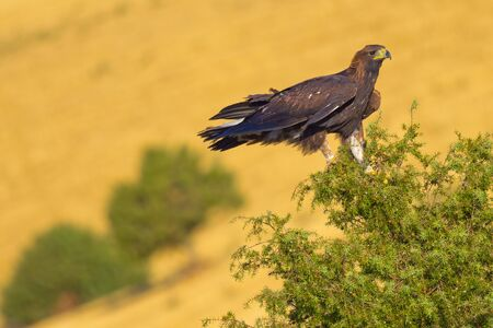 Golden Eagle, Aquila chrysaetos, Aguila Real, Castile Leon, Spain, Europe