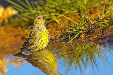 Serin, Serinus serinus, Verdecillo, Forest Pond, Castile Leon, Spain, Europe