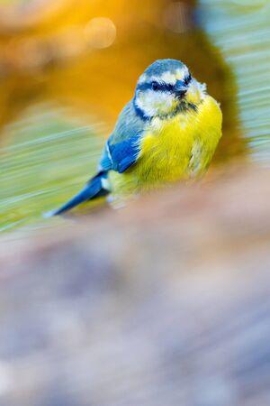 Blue Tit, Parus caeruleus, Herrerillo Comun, Forest Pond, Castile Leon, Spain, Europe