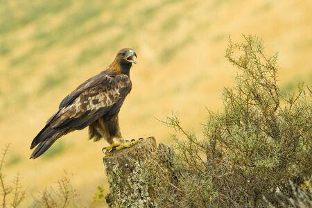 Golden Eagle, Aquila chrysaetos, Aguila Real, Castile Leon, Spain, Europe