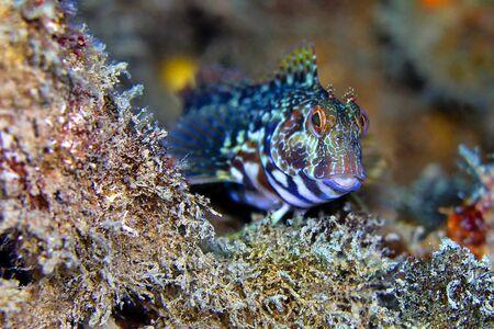 Ringneck Blenny, Parablennius pilicornis, Cabo Cope-Puntas del Calnegre Natural Park, Mediterranean Sea, Murcia, Spain, Europe