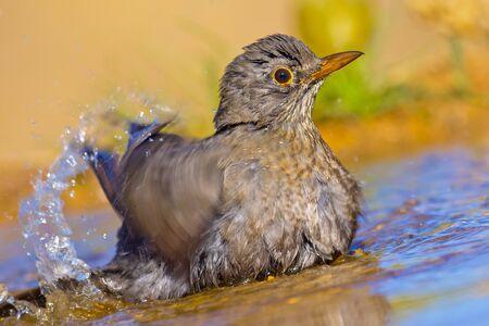 Blackbird, Turdus merula, Forest Pond, Spanish Forest, Castile and Leon, Spain, Europe