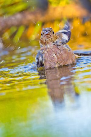 Chaffinch, Fringilla coelebs, Forest Pond, Spanish Forest, Castile and Leon, Spain, Europe