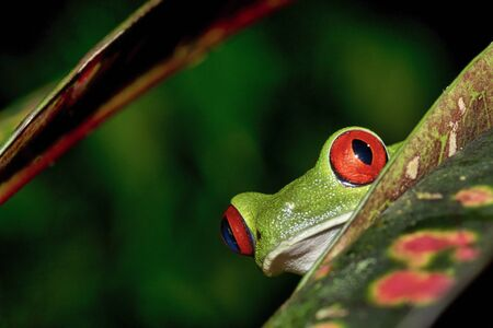 Red-eyed Tree Frog, Agalychnis callidryas, Tropical Rainforest, Corcovado National Park, Osa Conservation Area, Osa Peninsula, Costa Rica, Central America, America