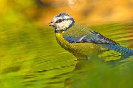 Blue Tit, Parus caeruleus, Forest Pond, Spanish Forest, Castile and Leon, Spain, Europe