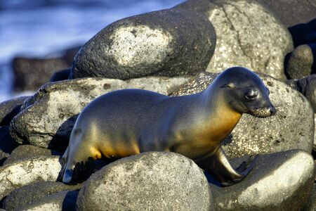 Galapagos Sea Lion, Zalophus wollebaeki, Galapagos National Park, Galapagos Islands, Ecuador, America