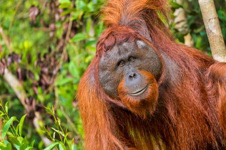 Orangutan, Pongo pygmaeus, Tanjung Puting National Park, Borneo, Indonesia Banque d'images
