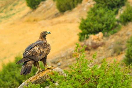 Golden Eagle, Aquila chrysaetos, Spanish Forest, Castile and Leon, Spain, Europe
