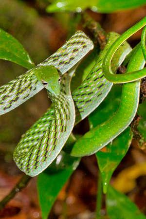 Green Vine Snake, Long-nosed Whip Snake, Ahaetulla nasuta, Sinharaja National Park Rain Forest, Biosphere Reserve, National Wilderness Area, Sri Lanka, Asia