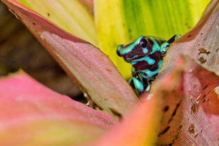 Green and Black Poison Dart Frog, Dendrobates auratus, Tropical Rainforest, Costa Rica, Central America, America