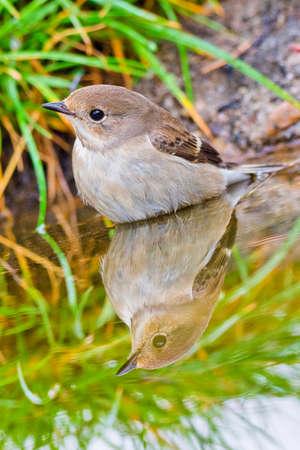 Pied Flycatcher, Ficedula hypoleuca, Forest Pond, Mediterranean Forest, Castile and Leon, Spain, Europe