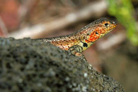 Galapagos Lava Lizard, Microlophus albemarlensis, Galapagos National Park, Galapagos Islands 版權商用圖片
