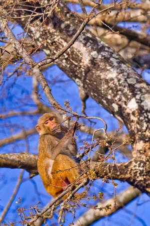 Rhesus Macaque, Macaca mulatta, Royal Bardia National Park, Bardiya National Park, Nepal, Asia