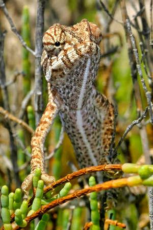 Chameleon, Chamaeleo chamaeleon, Salinas de Santa Pola Natural Park, Alicante, Comunidad Valenciana, Spain, Europe