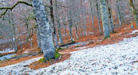 Beech Forest of Gamueta, Linza Valley, Valles Occidental Natural Park, Jacetania, Pyrenees, Huesca, Aragón, Spain, Europe