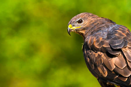 Buzzard, Buteo buteo, Mediterranean Forest, Castile and Leon, Spain, Europe