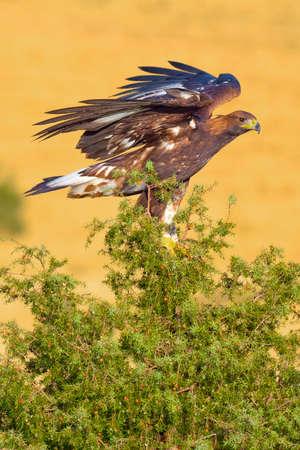 Golden Eagle, Aquila chrysaetos, Mediterranean Forest, Castile and Leon, Spain, Europe