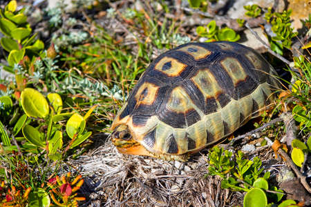 Angulate Tortoise, Chersina angulata, Walker Bay Nature Reserve, Gansbaai, Western Cape, South Africa, Africa 免版税图像