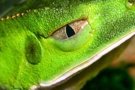 Tropical Green Frog, Tropical Rainforest, Napo River Basin, Amazonia, Ecuador, America Banque d'images