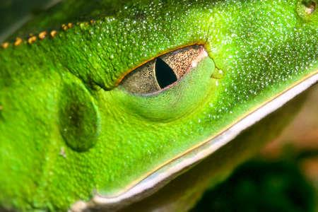 Tropical Green Frog, Tropical Rainforest, Napo River Basin, Amazonia, Ecuador, America