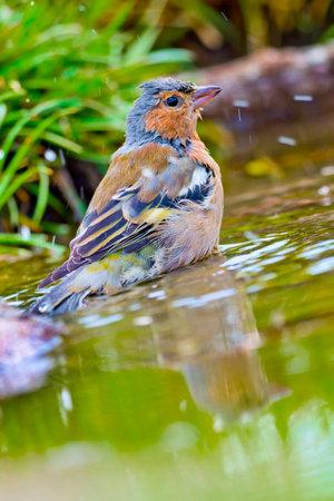 Chaffinch, Fringilla coelebs, Mediterranean Pond, Spanish Forest, Castile and Leon, Spain, Europe