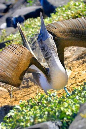 Blue-footed Booby, Sula nebouxii, Galapagos National Park, Galapagos Islands,Ecuador, America