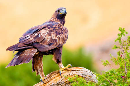 Golden Eagle, Aquila chrysaetos, Mediterranean Forest, Castile and Leon, Spain, Europe