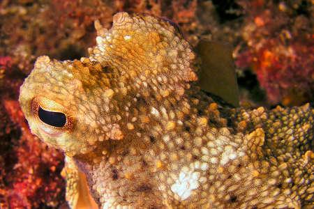 Common Octopus, Octopus vulgaris, Cabo Cope-Puntas del Calnegre Natural Park, Mediterranean Sea, Murcia, Spain, Europe Stock Photo
