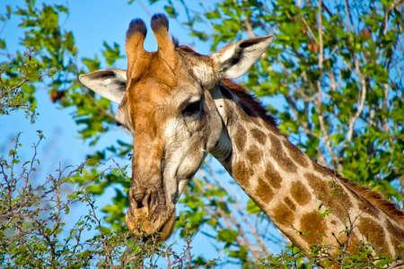 Giraffe, Giraffa camelopardis, Kruger National Park, South Africa, Africa