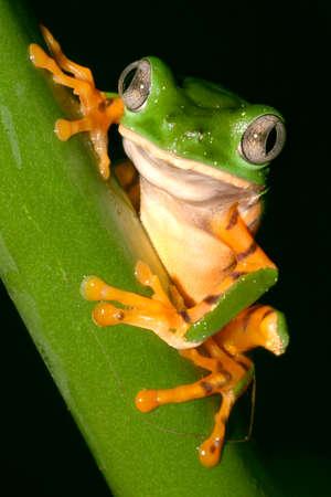 Tiger-Striped Leaf Frog, Callimedusa tomopterna, Tropical Rainforest, Napo River Basin, Amazonia, Ecuador, America