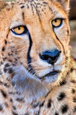 Cheetah, Acinonyx jubatus, Wildlife Reserve, South Africa, Africa 스톡 콘텐츠