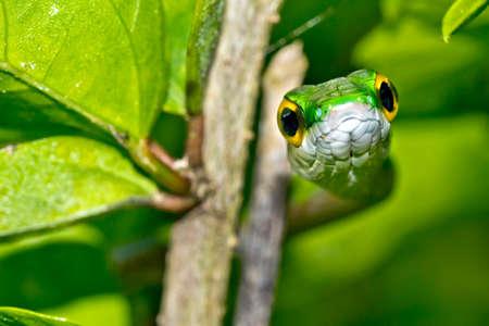 Parrot snake, Satiny Parrot Snake, Leptophis depressirostris, Tropical Rainforest, Corcovado National Park, Osa Conservation Area, Osa Peninsula, Costa Rica, Central America, America 스톡 콘텐츠