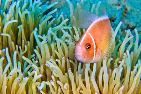 Pink Anemonefish, Amphiprion perideraion, Magnificent Sea anemone, Ritteri anemone, Heteractis magnifica, Lembeh, North Sulawesi, Indonesia, Asia 스톡 콘텐츠