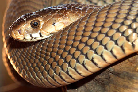 Mozambique Spitting Cobra, Naja mossambica, Wildlife Reserve, Botswana, Africa 스톡 콘텐츠