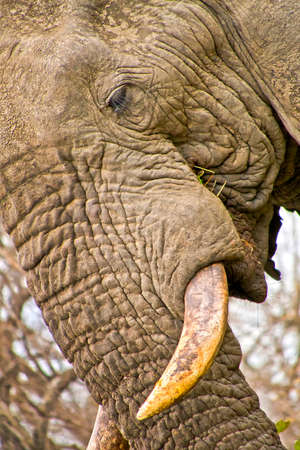 Elephant, Loxodonta africana, Kruger National Park, South Africa, Africa 스톡 콘텐츠