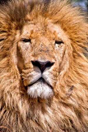 Lion, Panthera Leo, Wildlife Reserve, South Afica, Africa